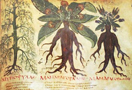 Mandragoras